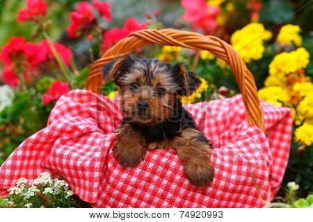 Yorkshire Terrier puppy sitting inside picnic basket with red and white blanket in colorful garden