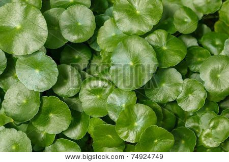 Centella Leaves