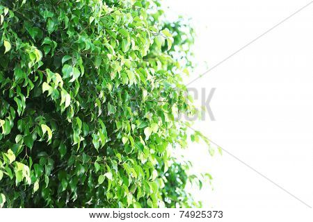 Green tree at park, on sky background