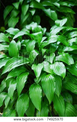 Beautiful spring hosta leaves on tree outdoors