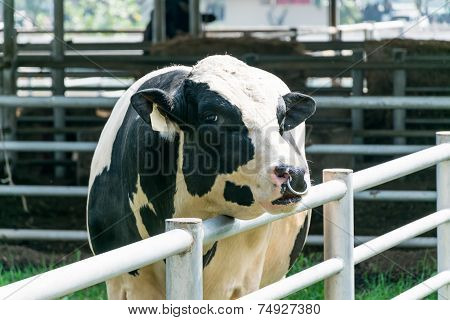 Dairy Cow In Farm Cows