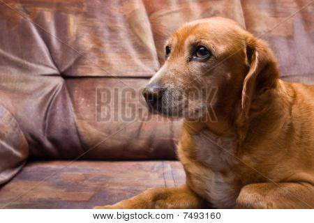 Golden Dog Laying On The Couch