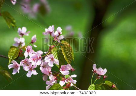 Blooming Sakura Branch
