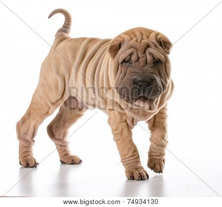 chinese shar pei standing isolated on white background