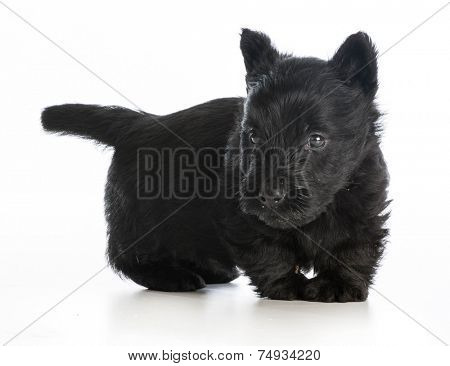 scottish terrier puppy standing on white background - 6 weeks old