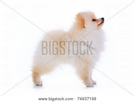 Cute Pet Talent Award, Pomeranian Dog Stand On White Background