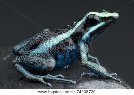 Striped giant dart frog / Amereega bassleri