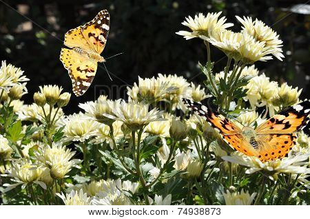 Butterfly On White Chrysanthemum