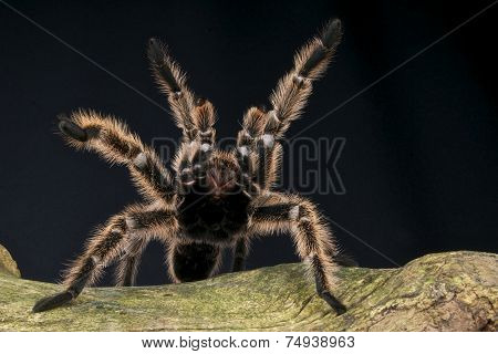 Tarantula / Avicularia urticans