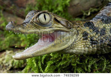 Spectacled caiman / Caiman crocodilus