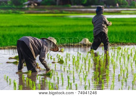 Thai Farmer Growing Young Rice In Field
