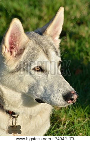 White Husky Dog