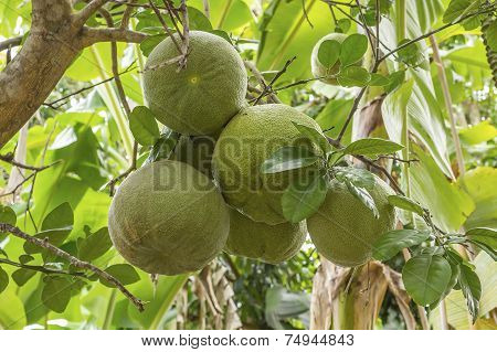 Fresh Pomelos On Tree