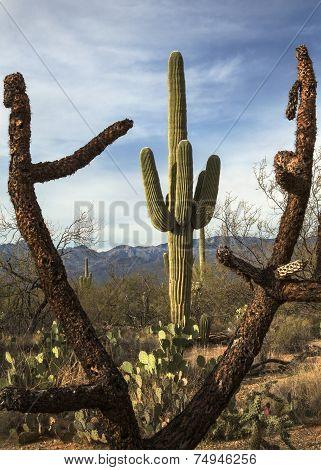 Arizona's Cacti