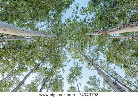 Eucalyptus tree against sky