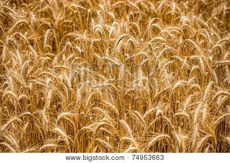 Background Of Ears Of Golden Ripening Wheat