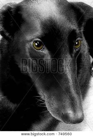 beatiful black dog with soulful expression