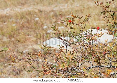 Brier Bush On Mountain Plateau Ai-petri In Crimea