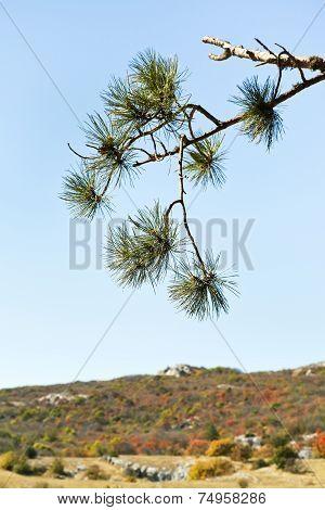 Pine On Mountain Plateau Ai-petri In Crimea
