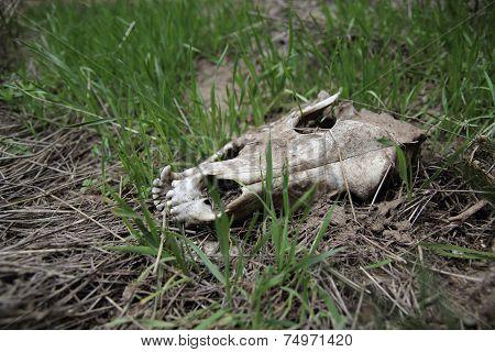 Skull In Grass