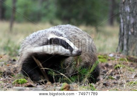 European Badger, Lat. Meles Meles