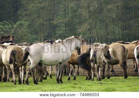 Duelmener horses