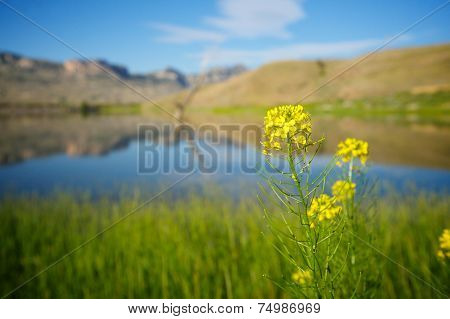 Yellow Wildflower Grows By Lake