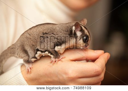 Gray Sugar Glider,  Gliding Possum Seats On Woman Hand