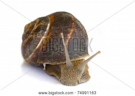 Earthy brown snail photographed close.