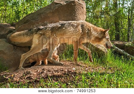 Grey Wolf (canis Lupus) And Pup Cross Paths