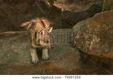 Grey Wolf (canis Lupus) Pup Ready To Pounce