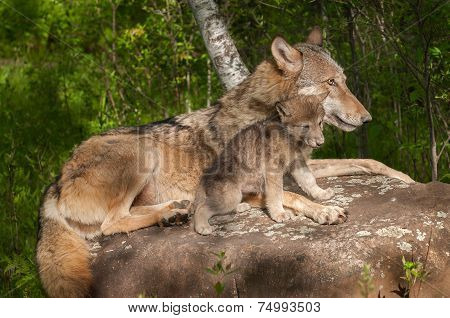Grey Wolf (canis Lupus) And Her Pup Relax Atop Rock