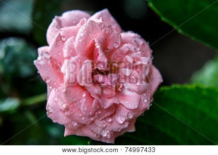 Beautiful Pink Rose In A Garden With Water Drops