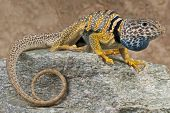 picture of lizards  - The Desert Collared lizard is an active - JPG