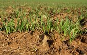 picture of land development  - Close up of cereals sprouting out from the land surface Badajoz Spain - JPG