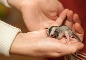 stock photo of glider  - Helpless Sugar glider cub - JPG