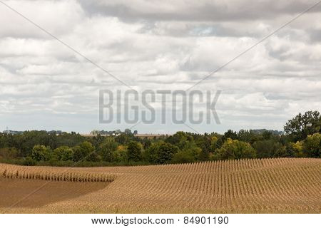 Planted Lines Of Plants In A Ripening Corn Field
