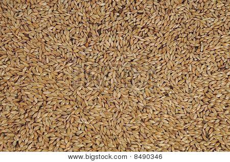 Canary seed Phalaris canariensis grass family