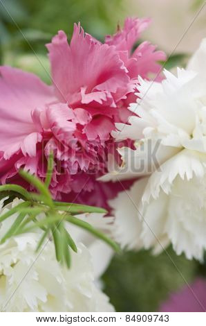 Close-up of Carnation flowers