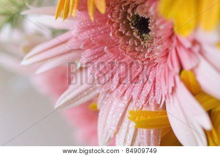 Dew drops on Daisy flowers