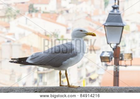 Seagull In City