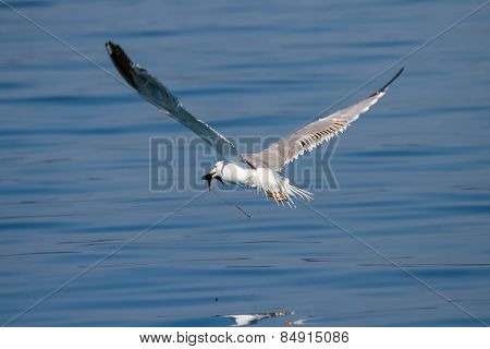 Seagull With Fish In Beak