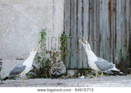 Three Seagulls On Concrete