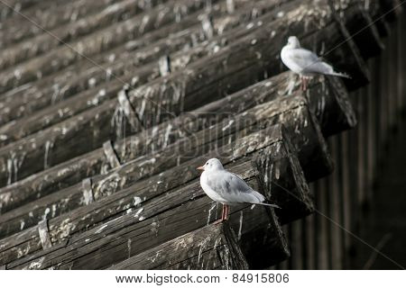 Two Seagulls On Roof