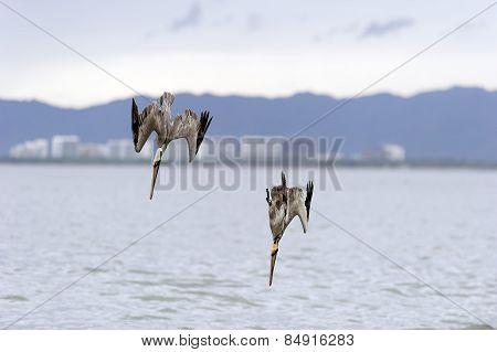 Wildlife Pelicans Diving.