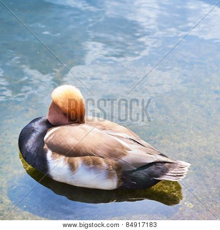 Waterfowl bird in a water pond