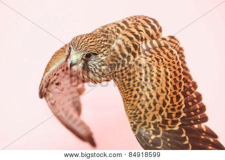 Hawk On Human Hand