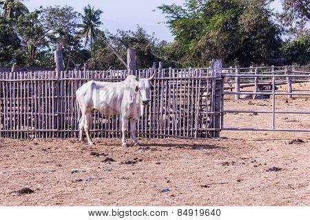 White Thai Cows In Farm