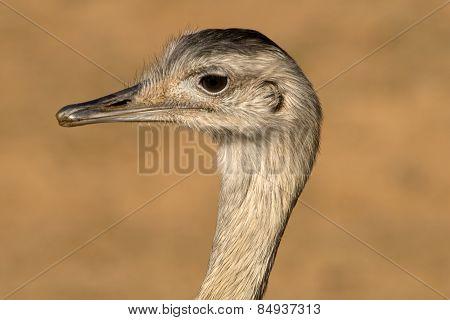 Emu Head Closeup