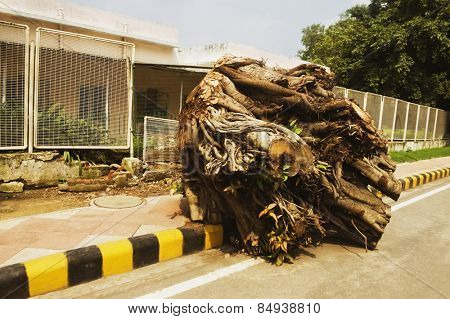 Root of an uprooted tree at the roadside, New Delhi, India